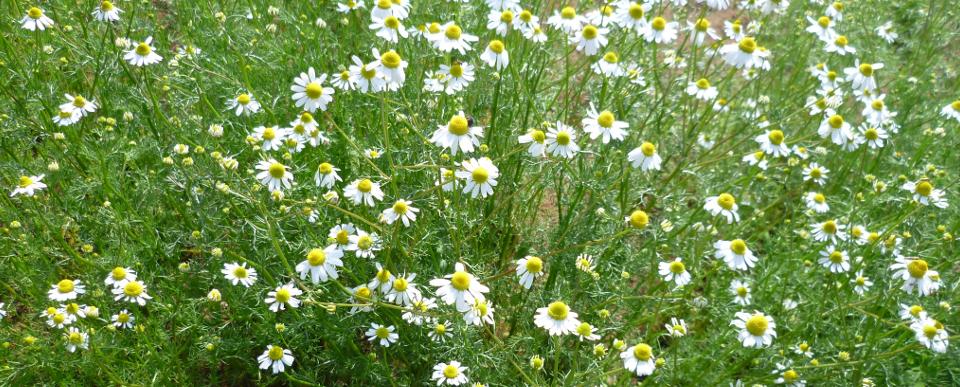 カミツレ キク科の1種の耐寒性一年草 カモミール、カモマイルの和名 安全で効果的なハーブとして、古くからヨーロッパ、アラビアで利用された。